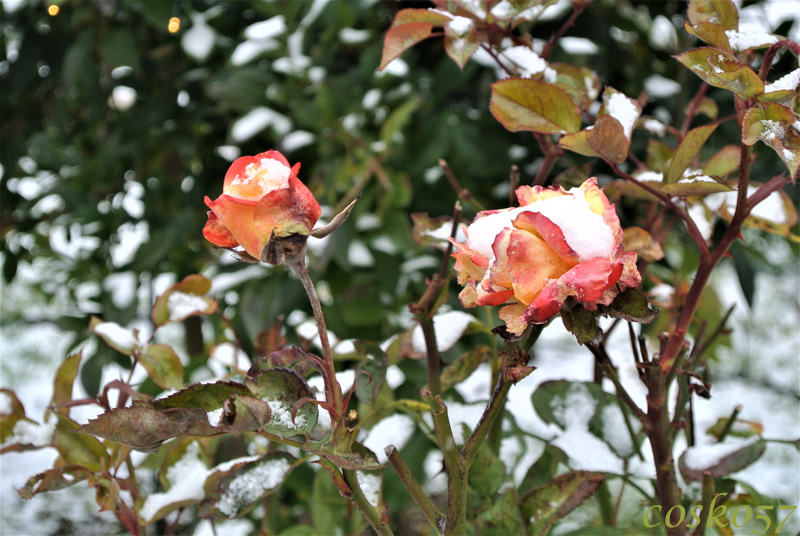 snow_on_roses