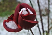 snow_on_rose